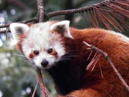 Little red panda 3 by JanuaryGuest