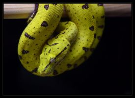 Merauke Green Tree Python by oOBrieOo