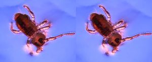Springtail stereoscopic by Hector42