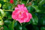 After the Rain: Pink Rose by ShadowKnight508