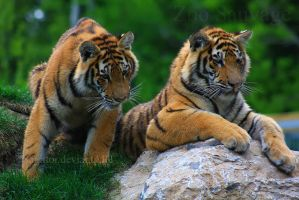 Amur Tiger 6 by Sagittor