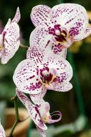 Orchid flowers 7 by a6-k