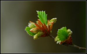 When the beech buds burst by jchanders