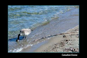 Canadian Goose by BlindedVisions