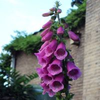Digitalis purpurea by M10tje