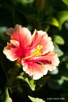 Hibiscus Blooming by XanthicAmber