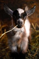 Cute Baby Goat by reimu