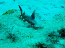 Look! A hammerhead! by Zachg56