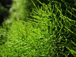 Equisetum by techunit