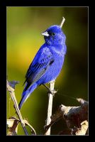 Indigo Bunting by AgresticLamia
