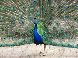 Peacock by PhotographyFace