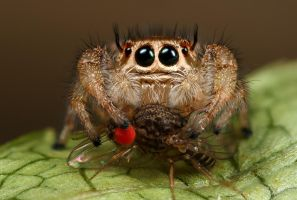 jumping spiders lunch by macrojunkie