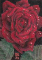 ACEO Red Rose by robertsloan2