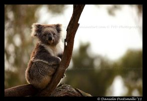 Koala II by TVD-Photography