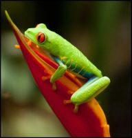 Red-eyed leaf or tree frog by Skookum-Models