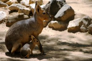 Patagonian Mara - mum and baby by yunaayame