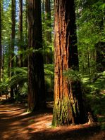 The Redwoods by modestlobster
