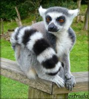 Laurence The Lemur by Estruda