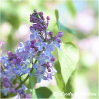 Lilacs by CecilyAndreuArtwork