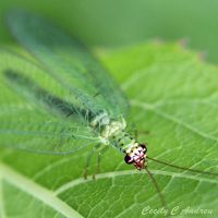 Green Lacewing by CecilyAndreuArtwork