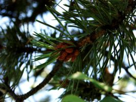 Evergreen by Morna