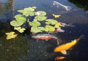Koi Fish under Lillies by GreenEyezz-stock