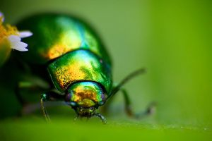 Green rainbow beetle by biretta
