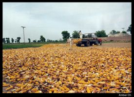CoRn HaRvEsTed... by jellybee