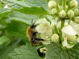 little bumblebee on Lamium  - dead nettle by Nexu4