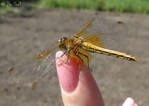 Dragonfly on my finger 01 by Nijik