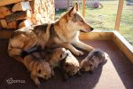 Raksha and her Puppies - Day 20 by Czertice