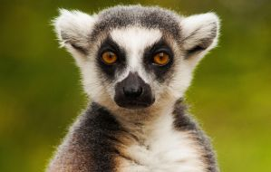 Lemur by DanielleMiner