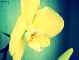 yellow orchid by 3divine