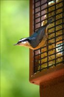Red-breasted Nuthatch by jdurbin
