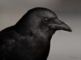 The Crow by Photacide