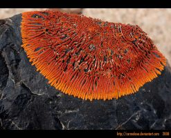 Fiery lichen by carmeleon