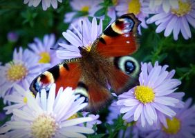 Peacock butterfly on blue asters by April-Mo