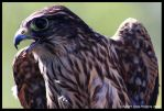 Young Female Merlin by FeatherPhotography