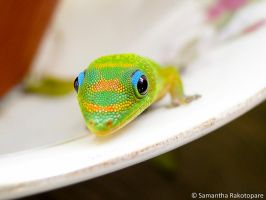 Gold dust day gecko 10 by kitty974