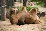 Camel Stock by Avestra-Stock