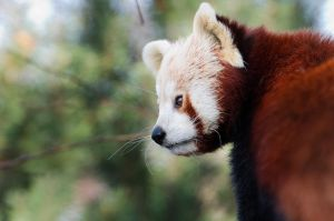 Red Panda VI by werram