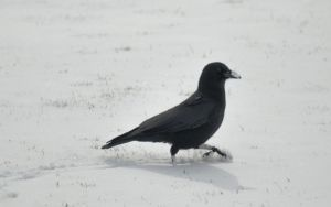 Crow in Snow Stock by RustedScrapMetal