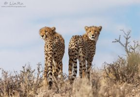 Cheetah Brothers in Arms by LinRuPhotography