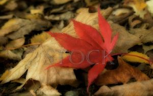 Red-Leaf-1 by Evil-e33