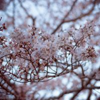 Sakura in the Spring Wind by larksgar