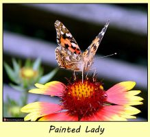 Painted lady by Betuwefotograaf
