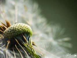 Taraxacum officinale by killswitch90