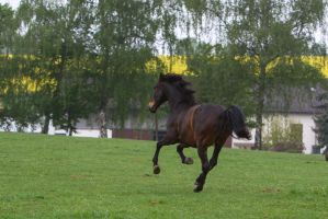 Andalusian Galopping on Pasture by LuDa-Stock