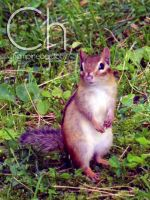Chipmunk by Champineography