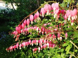 Bleeding Hearts by Loulou13